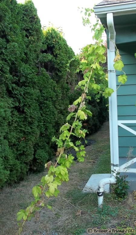 nugget hop vine