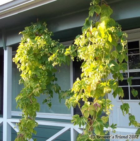 hallertauer hop vines