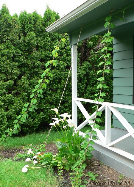 second year hops tall