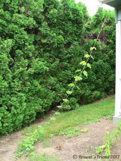 growing hops vines