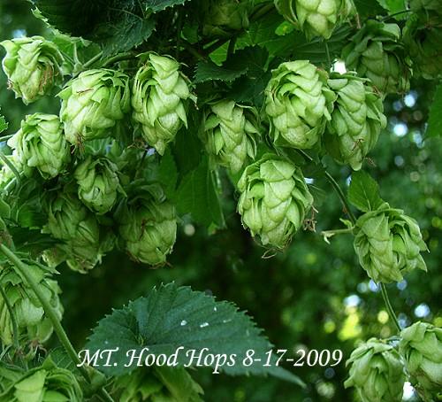 small hops cones